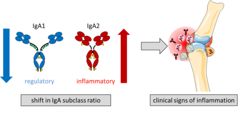"Towards entry ""IgA1 versus IgA2 in inflammation"""